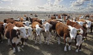 Hereford argentinisches Rindfleisch