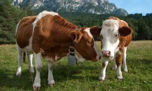 Simmentaler Rinder
