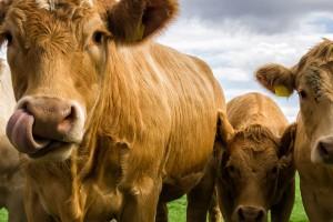 Weiderinder, die Basis für gutes Dry Aged Beef