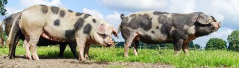 Schweinefleisch oder Pork: Eignet sich gut fürs Dry Aging